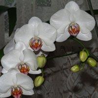 Орхидея фаленопсис :: Людмила Василькова