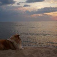 Sheltie Friday. Loving the sea. :: Tatiana Golubinskaia