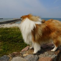Sheltie Friday. Loving the sea. :: Tatiana Golubinskaia