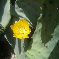 Цветок кактуса :: Герович Лилия
