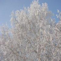 Деревья в снегу :: Сергей Тагиров