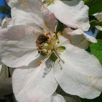 Пчела :: Анатолий Моргун