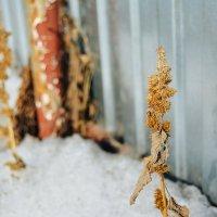 Засохшая трава :: Света Кондрашова
