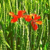 поле.  пшеница.  маки. :: Ivana
