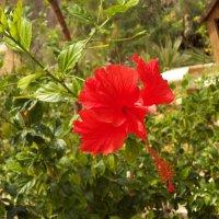 Китайская роза или Гибискус. :: Жанна Викторовна