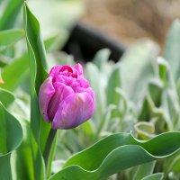 Тюльпаны в марте! :: Светлана Масленникова