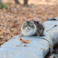 Осенний котэ :: Сергей Казаченко