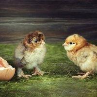 Цыплячье дефиле :: Ирина Приходько