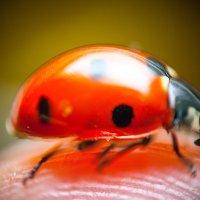 ladybug :: Максим Миронов