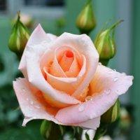 Роза. :: Береславская Елена