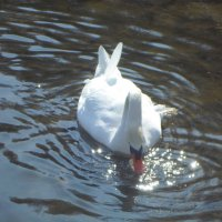 Солнечный лебедь :: BoxerMak Mak