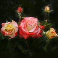 розы :: Марина