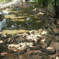 Крокодильчики.Таиланд :: Антонина
