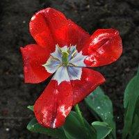 тюльпан после дождя... :: Юрий Владимирович
