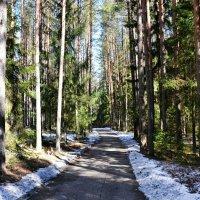 Весна в сосновом бору :: Милешкин Владимир Алексеевич