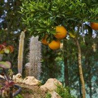 кактусы апельсины :: вадим