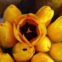 Желтые тюльпаны :: Светлана