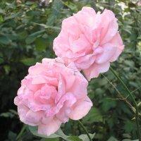 Розы с улицы Роз :: Булаткина Светлана
