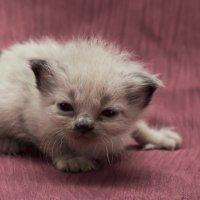 Первая в жизни фотосессия-из серии Кошки очарование мое! :: Shmual Hava Retro