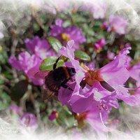 Весеннее настроение. Шмель на цветке рододендрона :: Nina Yudicheva