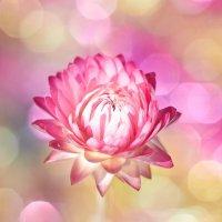 розовые сны :: Седа Ковтун