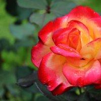 Осенняя роза :: Екатерина Гудковская