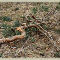 Из жизни деревьев :: Леонид Иванчук