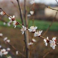 цвет абрикоса :: Наталия Сарана