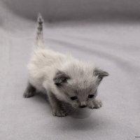 Тайская мелюзга-из серии Кошки очарование мое! :: Shmual Hava Retro