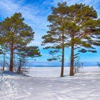 Сосны в устье Северной Двины :: Иван Клещин