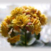 Коланхоэ(1)..Это не только красиво цветущее растение.....НО и..очень полезное. :: Людмила Богданова (Скачко)