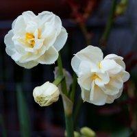 Нарцисс Bridal Crown (свадебная корона) :: Александр Корчемный
