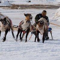 гонки на оленях :: Yuri Mekhonoshin