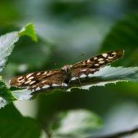 Крапивница (бабочка) :: Алексей Зеленько