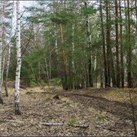 Весна в лесу :: Александр Лихачёв