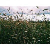 Колоски пшеницы :: Валерия Клюкина