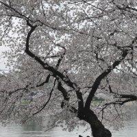 Cherry blossom in DC. :: Юрий Матвеев
