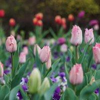 Весеннее многоцветие на клумбах Краснодара :: Андрей Майоров