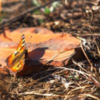 Первые бабочки :: Анатолий Иргл