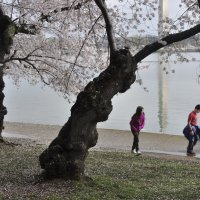 Cherry blossom in DC (5) :: Юрий Матвеев