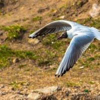 чайка :: Александр Есликов