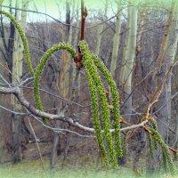 Набирает цвет осинка.. :: Андрей Заломленков