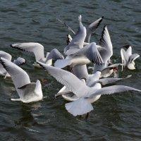 Чайки прилетели. :: Алексей Жуков