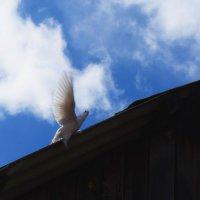 Прилетела белая голубка во двор дома :: Елена Фалилеева-Диомидова