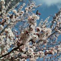 Абрикосов цвет. :: Андрий Майковский