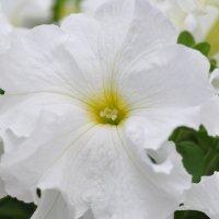 Белый цветок :: Сергей Тагиров