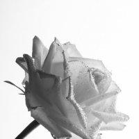 Роза... :: Sergey Apinis