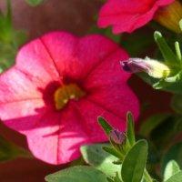 цветок петунии. :: Пётр Беркун