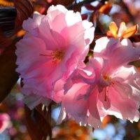 Сакура цветёт!!! :: СветЛана D