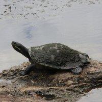 Австралийская черепашка :: Антонина